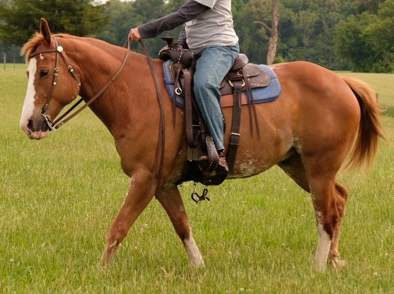 Cisco walk under saddle