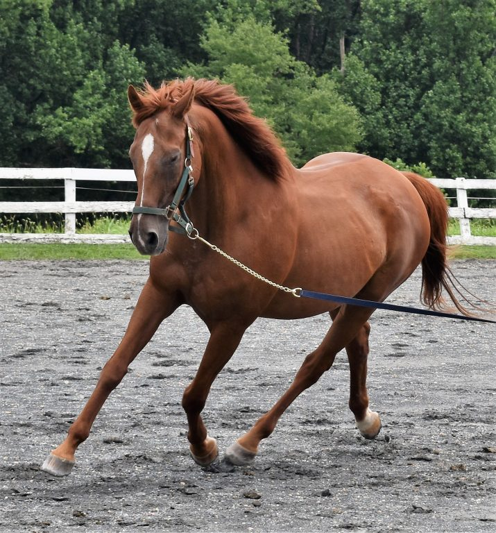 Zoo trot lunge